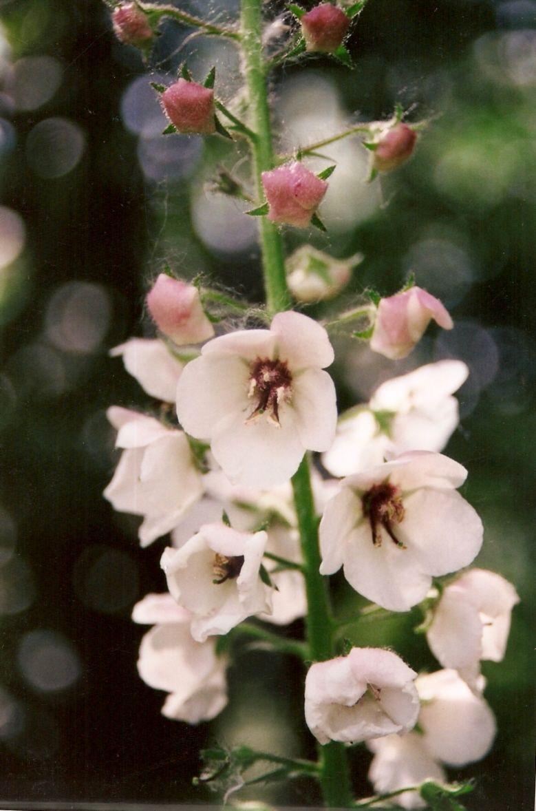 "Verbascum blattaria ""Moth Mullein"" blooming now in"