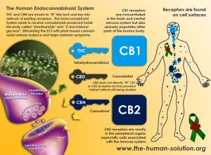 Endocannabinoidsystemreceptors