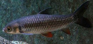 Ampuh Cara Membuat Umpan Jitu Ikan Jelawat Macam Macam Teknik Mancing Rahasia Umpan Resep Umpan Umpan Ikan Jelawat Umpan Ikan Jelawat Lombong Ump Ikan Air Tawar