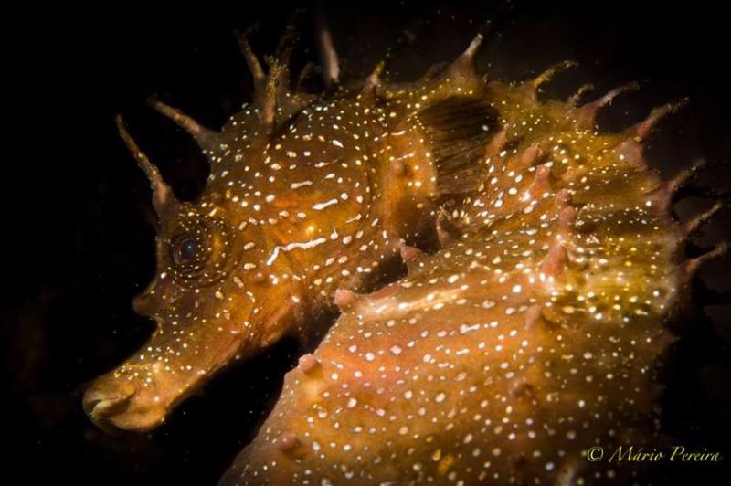 Long-snouted seahorse - by Mario Pereira #seahorse