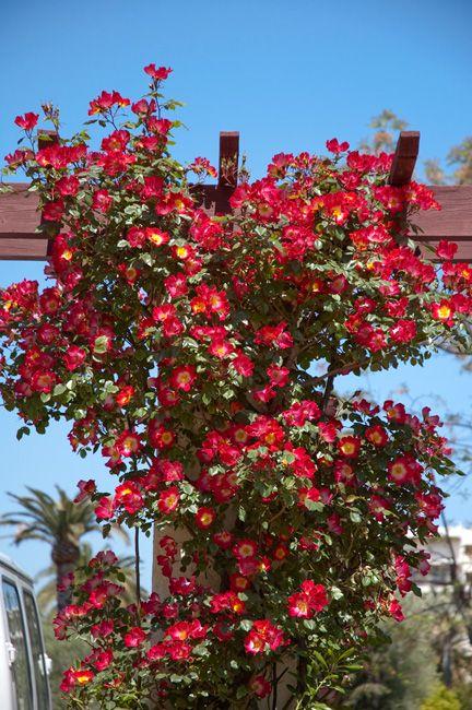 Rosa cocktail, rosácea arbustiva trepadora, floración en primavera, altura máxima 3,2 mts, soporta heladas, caduca, crecimiento rápido.