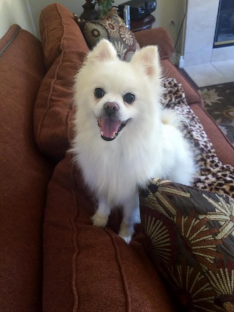 Adopt Cody On Petfinder American Eskimo Dog Animals Beautiful Pomeranian Dog