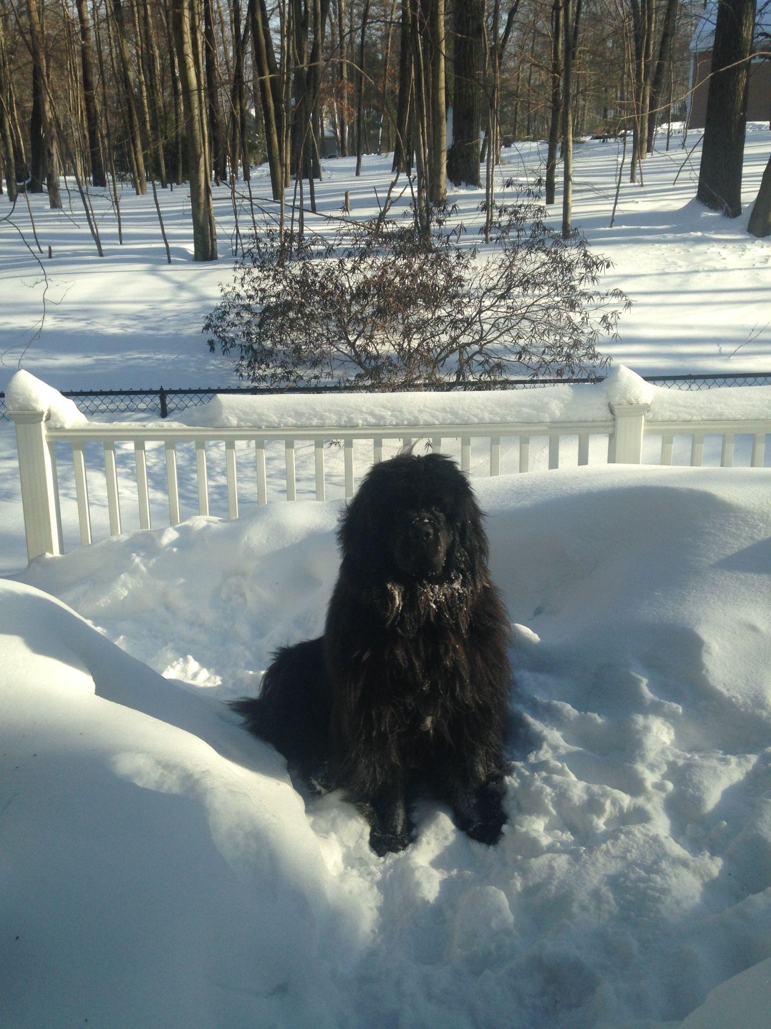 Arlo newfoundland and dog of adventure newfoundland