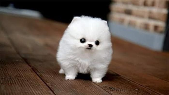Fluffy White Dog Cute Photo Litle Pups Cute Fluffy Puppies Cute Small Dogs Cute Dogs Breeds