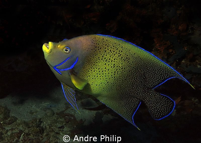 Koran Angelfish by Andre Philip
