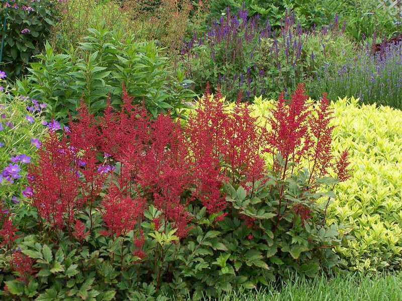 Astilbe Red Sentinel Shade Plants Plants Astilbe