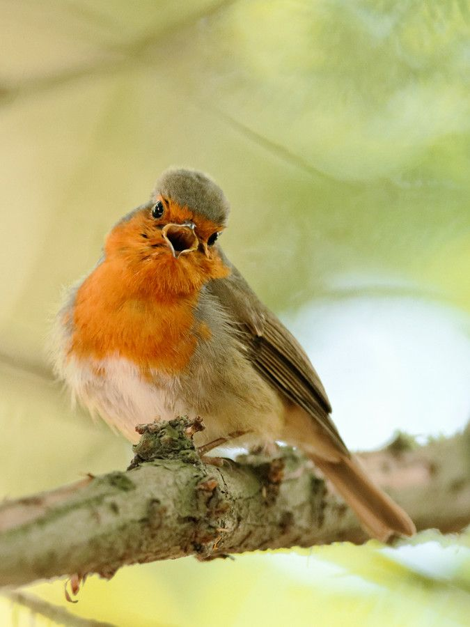 European Robin (Erithacus rubecula) I'm singing by Cédric GUERE on 500px