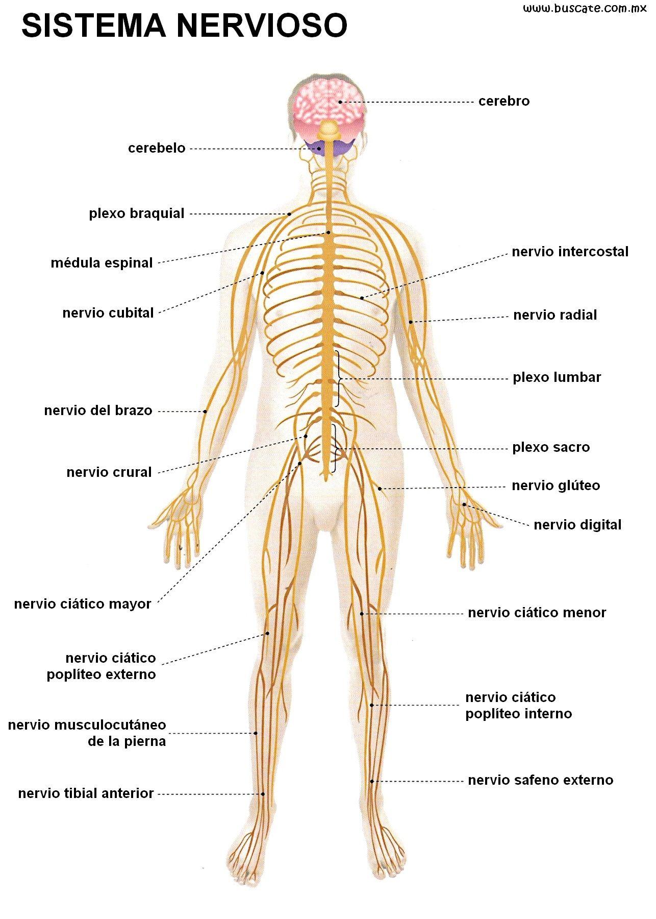 Esquema Del Sistema Nervioso Con Los Nombres De Sus Partes En Colores Sistema Nervioso Dibujo Del Sistema Nervioso Sistema Nervioso Periférico