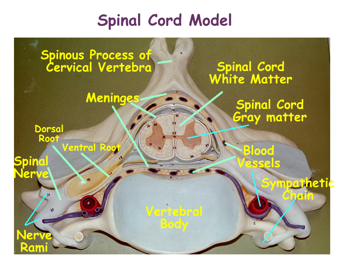 labeled diagram of spinal column 4 way switch wiring telecaster central 43nervous 43system 43labeled 43models nervous system