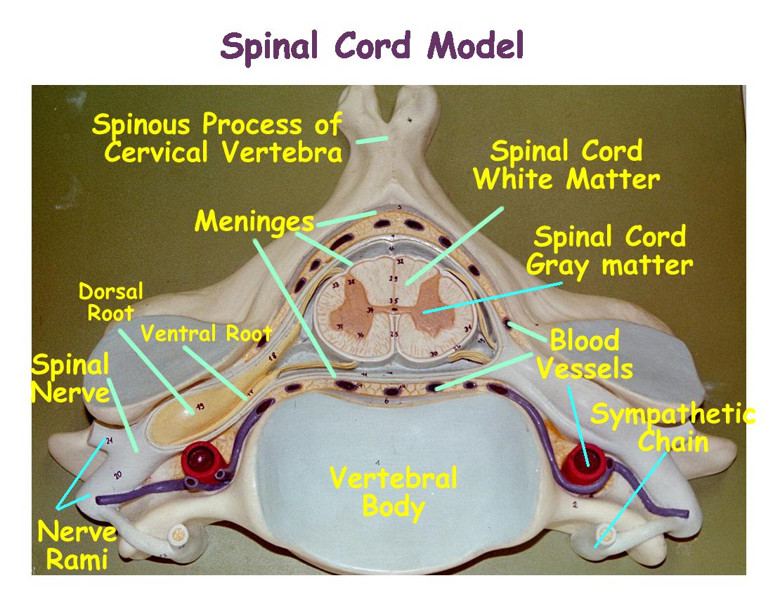 Biology 2404 A&P Basics | Nervous system anatomy, Brain ...