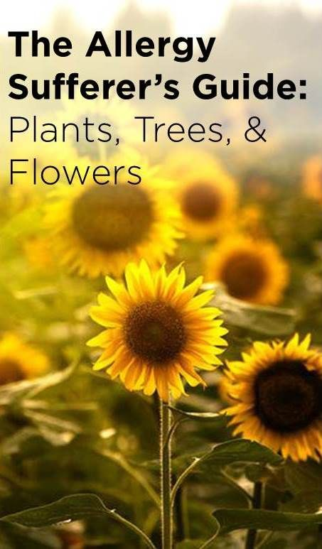 The Allergy Sufferer S Guide To Plants Flowers Sunflower Plants Trees To Plant