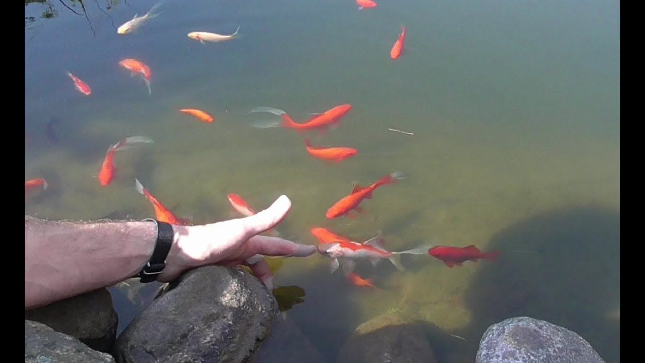 Goldfische Zahmen Handzahme Goldfische Goldfisch Fische Haus Und Garten