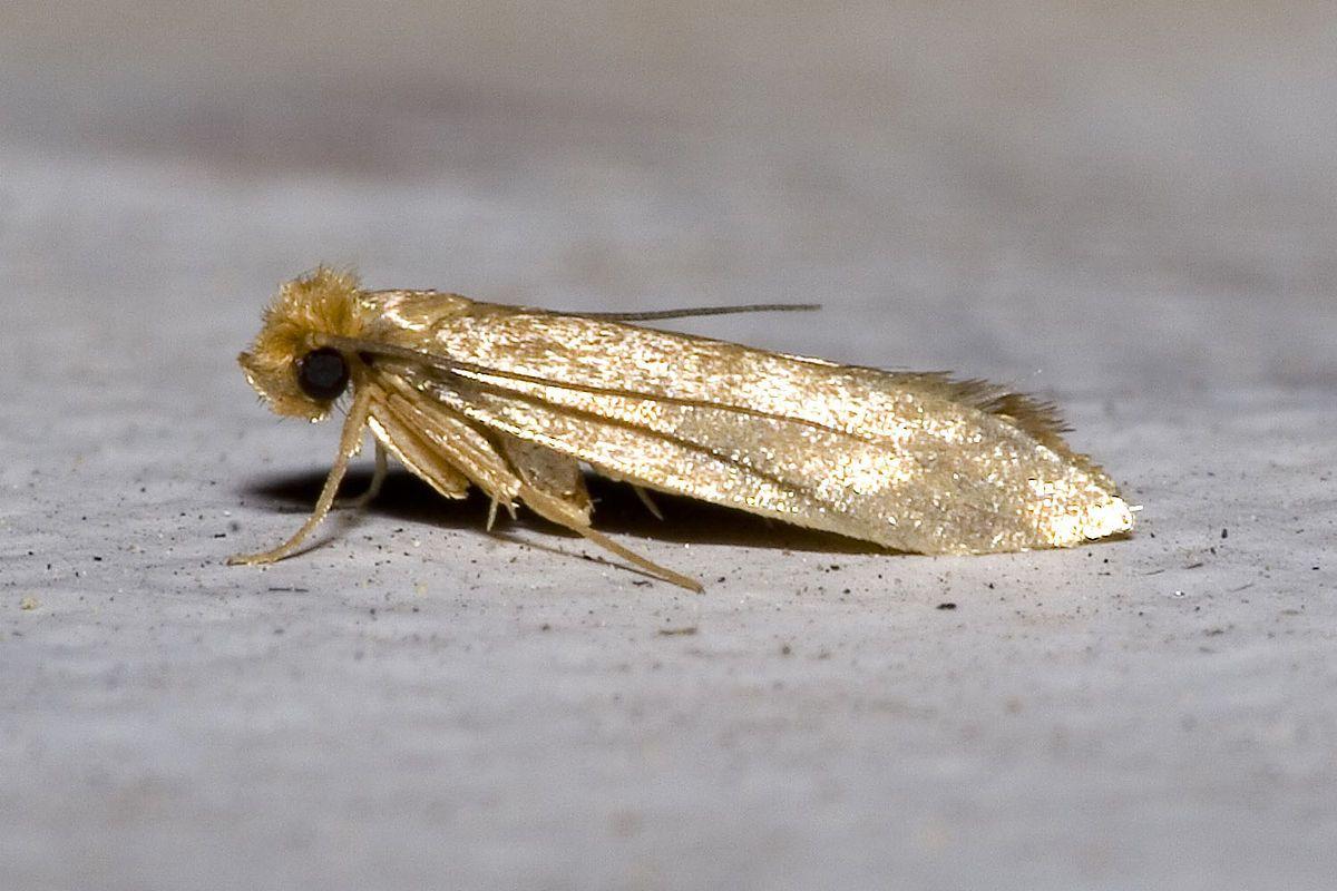 Tineola Bisselliella Wikipedia Getting Rid Of Moths Moths In Closet Moth