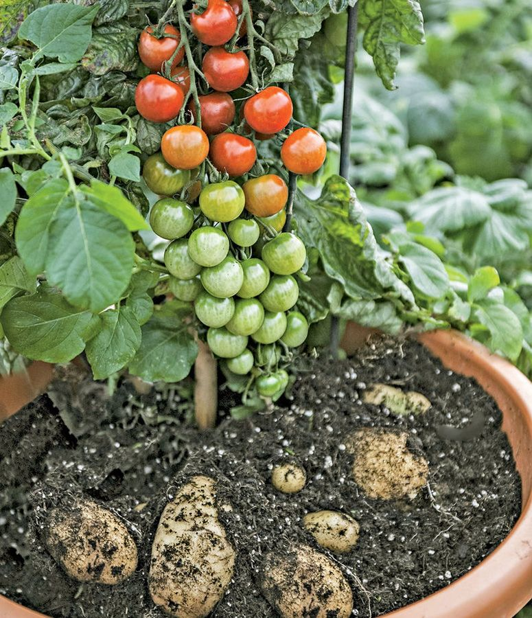 30 Amazing Ideas For Growing A Vegetable Garden In Your: Grow Tomatoes And Potatoes On A