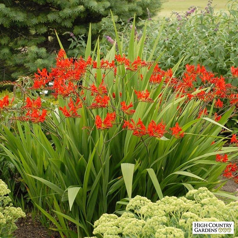 Lucifer Crocosmia Plants, Bulb flowers, High country gardens