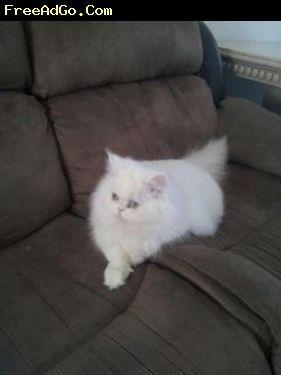 Houston Cute Kittens Cats Kittens Cats Kittens Cutest Persian Kittens For Sale Kittens