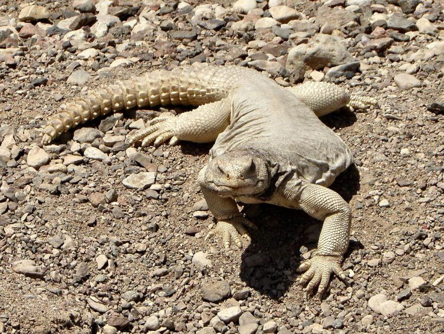 15 Amazing Animals Starting With U With Images Uromastyx Uromastyx Lizard Animals Starting With U