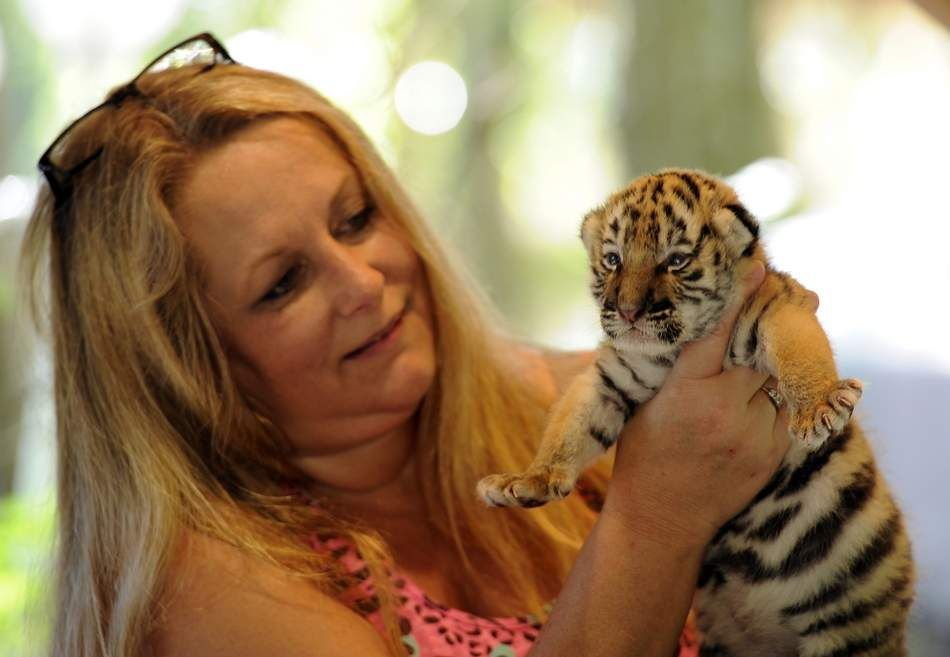 Director Of Dade City S Wild Things Kathy Stearns Holds A 2 Week Old Baby Tiger After Bottle Feeding In 2015 On Friday A Feder Dade City Tiger Beautiful Cats