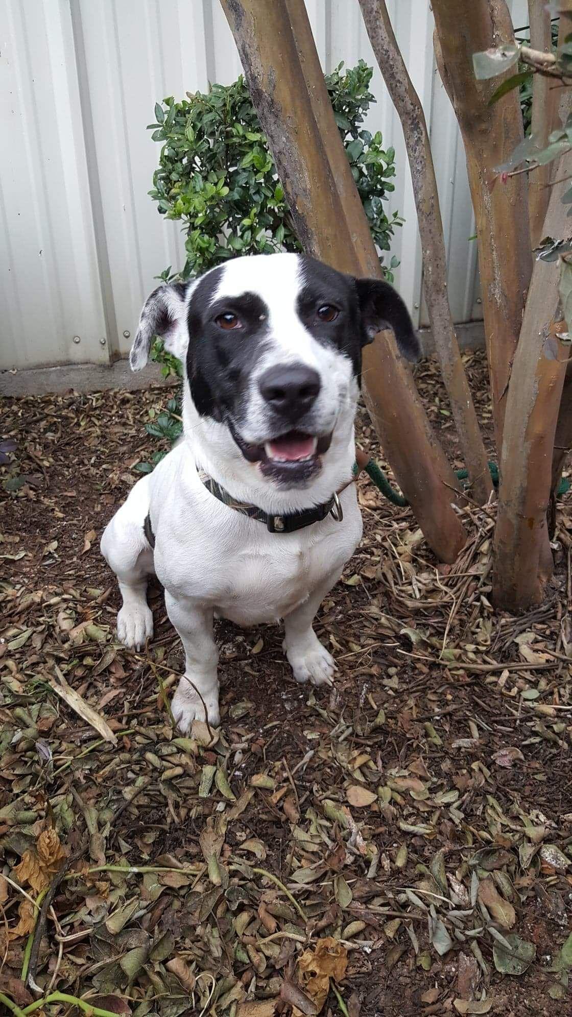 Adopt Benny On Pitbull Terrier Pitbulls American Pitbull Terrier