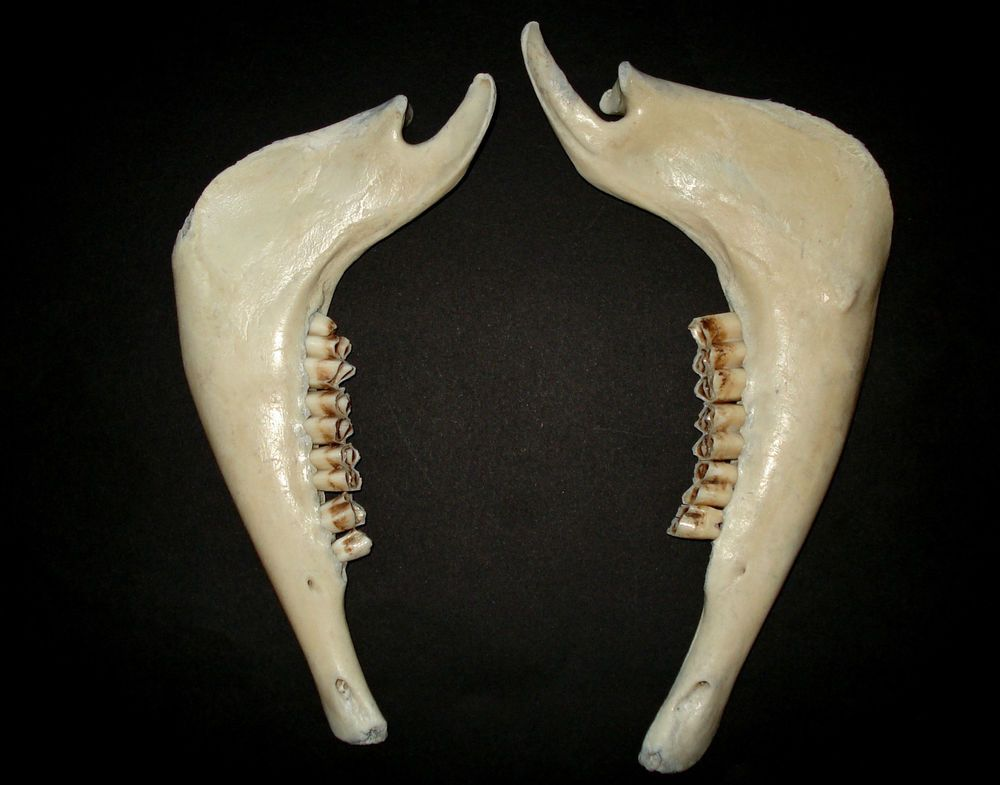 Two genuine Icelandic sheep jaw,Taxidermy,Decoration,Art/crafts ...