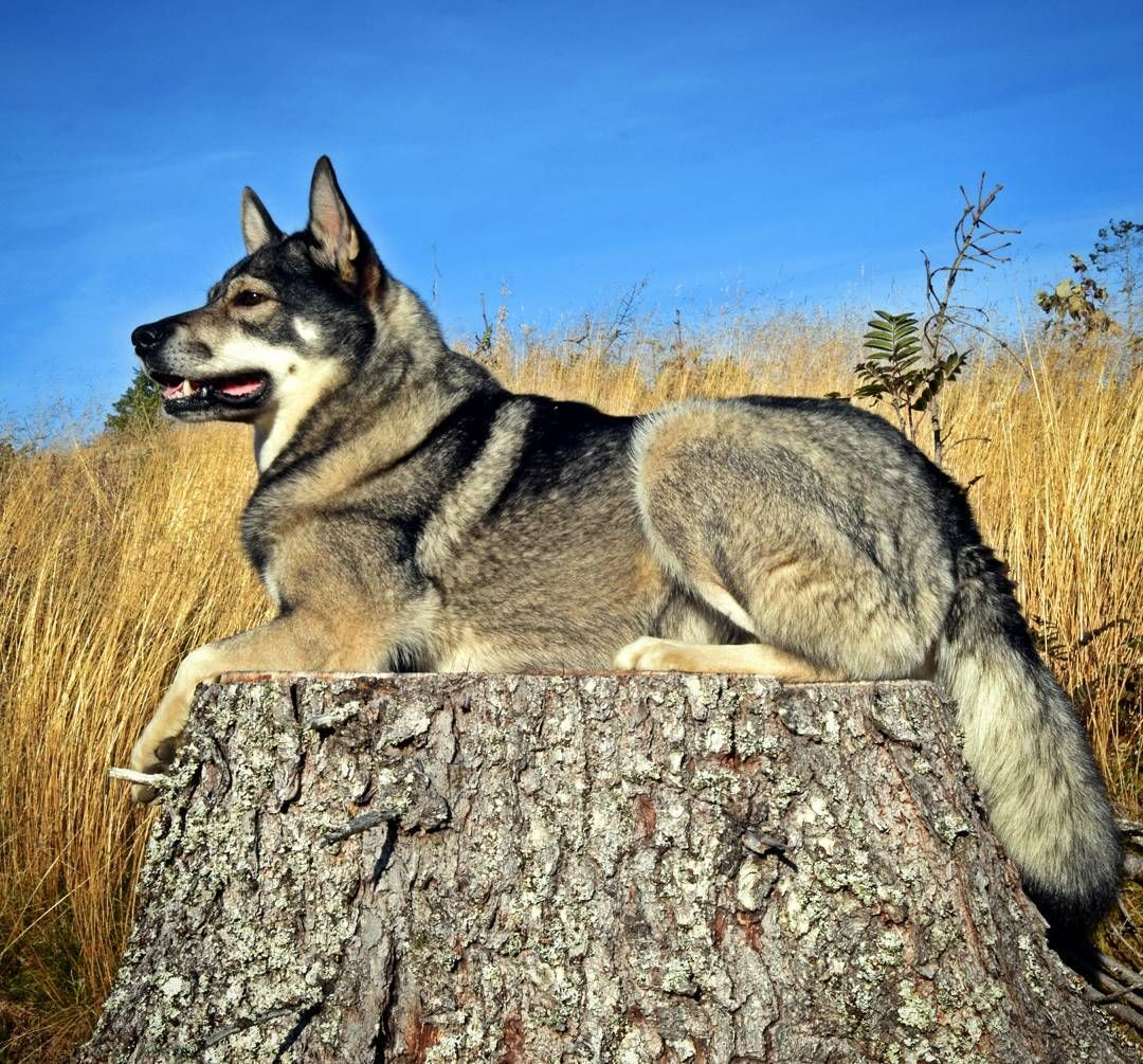 jämthund Beautiful dogs, Cute cats and dogs