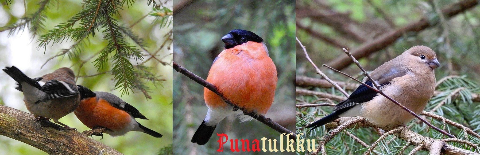 PUNATULKKU (Pyrrhula pyrrhula) - (Linnaeus, 1758)