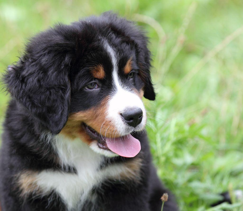 Bootsmann (Berner Sennenhund Welpe/Bernese Mountain Dog