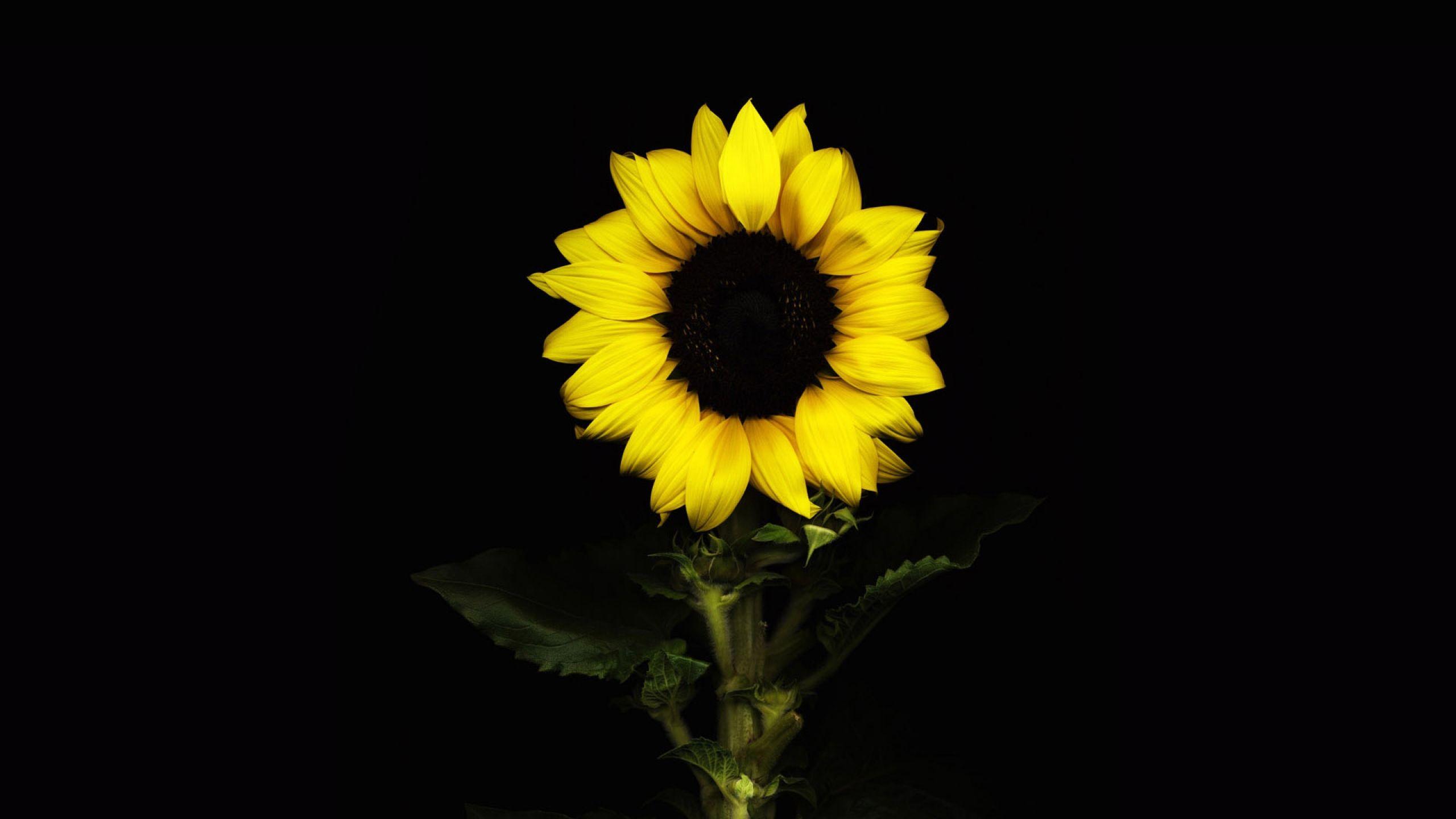 Fondo De Pantalla Girasol, Con La Flor, Fondo Negro, Flor