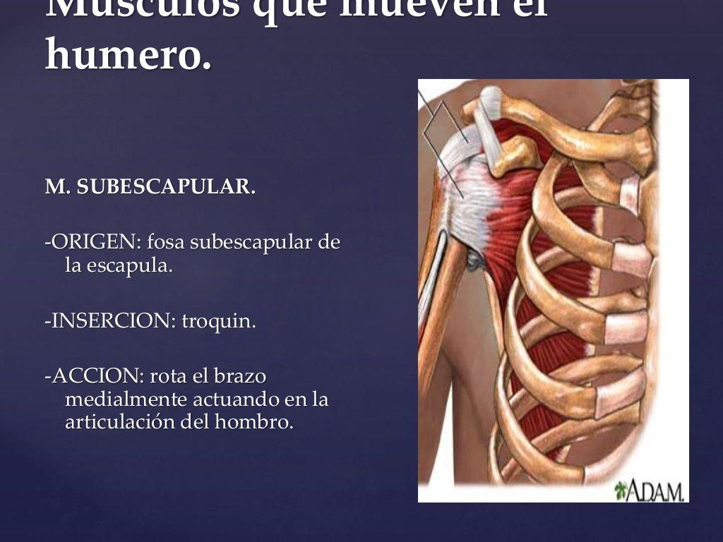 Músculos que mueven el humero. M. SUBESCAPULAR. -ORIGEN: fosa ...