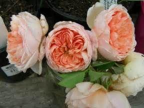 Rose Garden: David Austin Roses