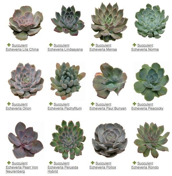 A Guide To Identifying Your Home Décor Style: Succulent Echeveria Variety Guide Metro Detroit Florist