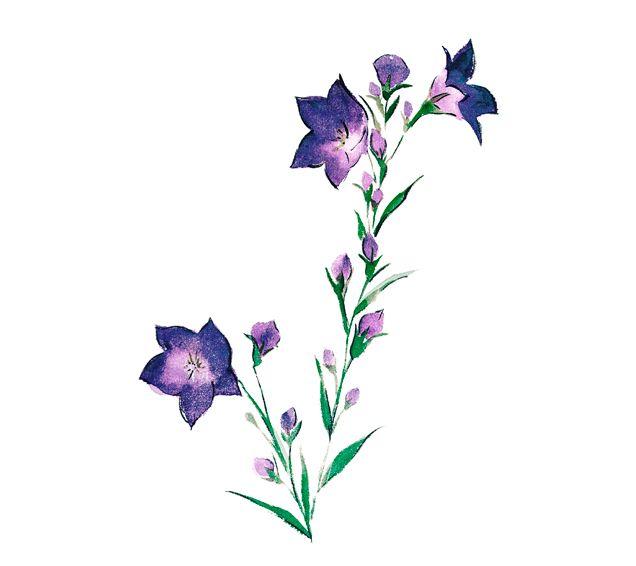 桔梗キキョウ夏の花塚由子yoshikotaaktsuka水彩画watercolor