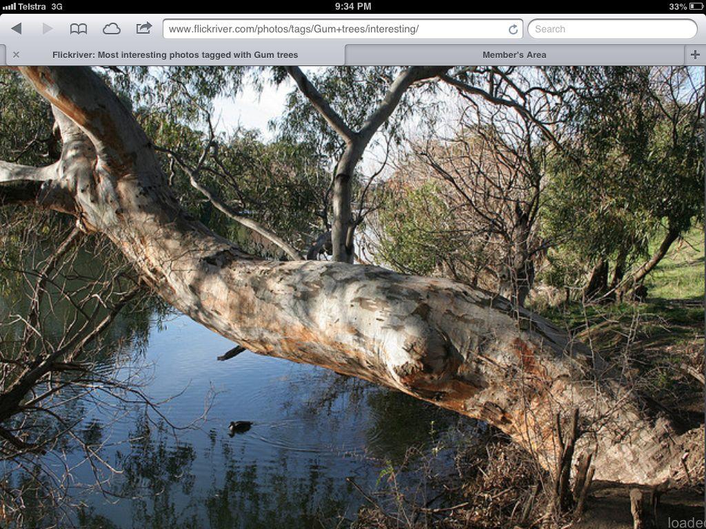 River Red Gum Eucalyptus Tree Tree Around The Worlds