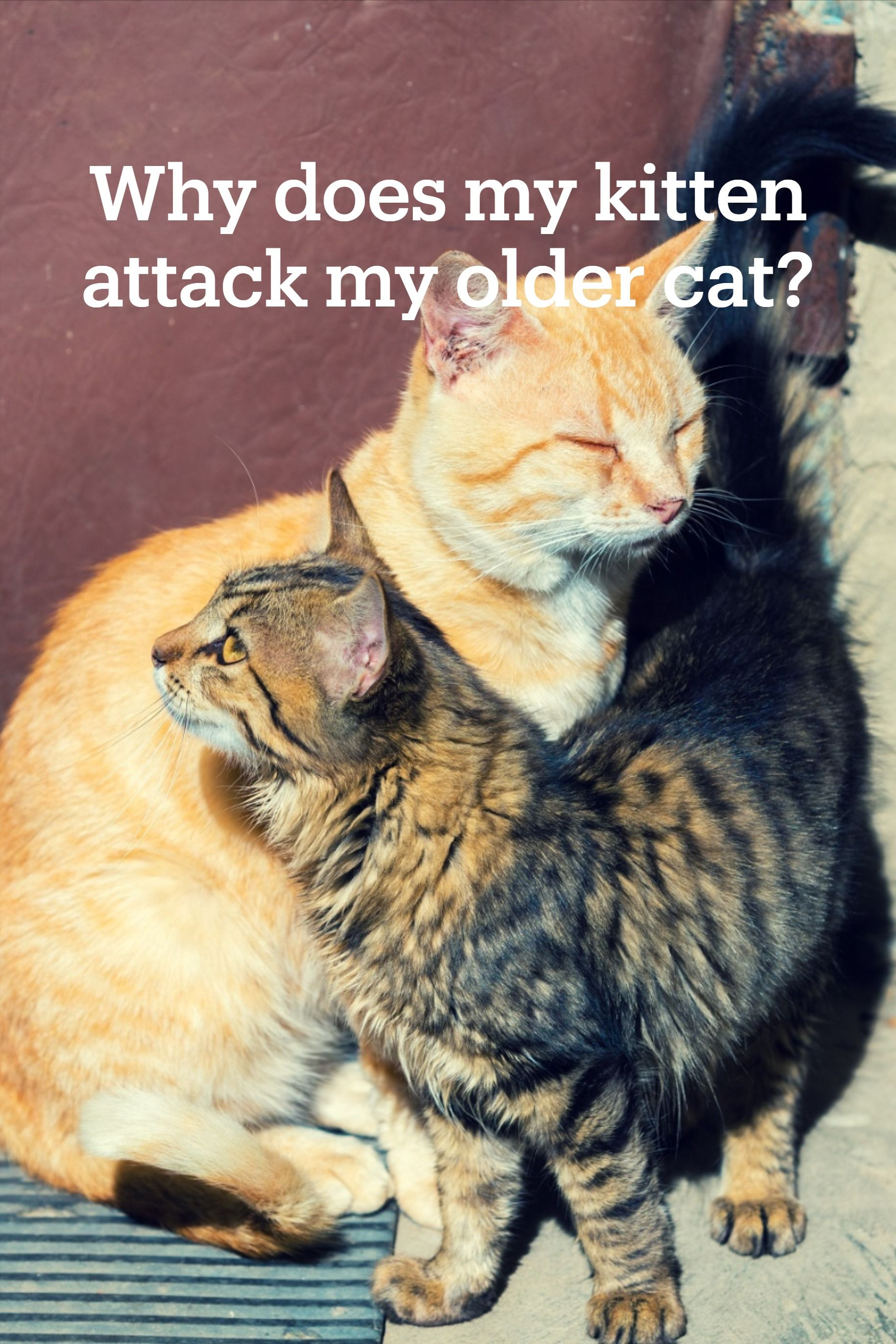 Why Does My Kitten Attack My Older Cat In 2020 Older Cats Kitten Cats