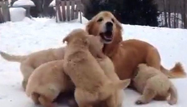 Golden Retriever Puppies Play With Mom In The Snow Video Puppy