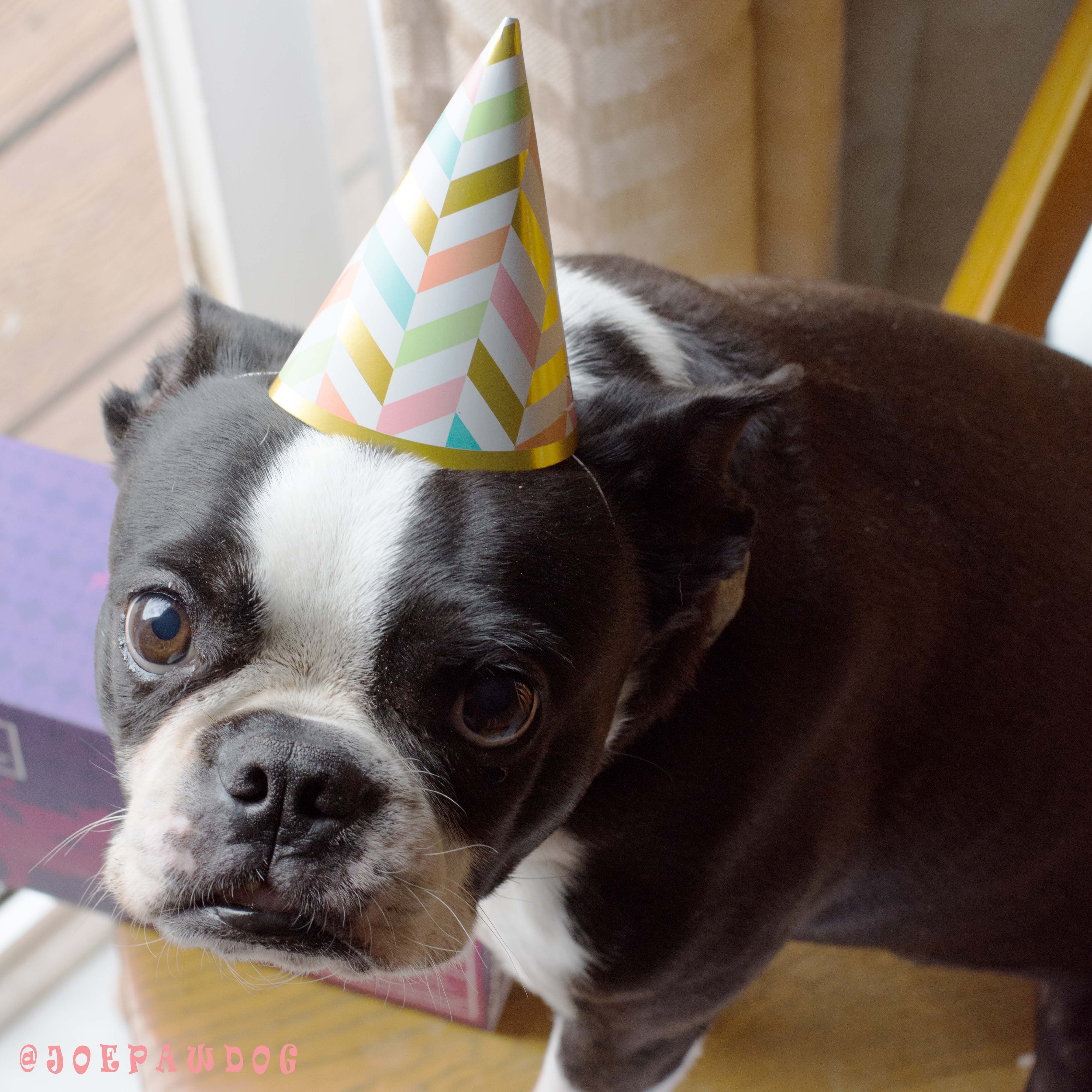Happy Birthday To Me Today Is My Birthday And I Turn 7 Years Old I Can Hardly Believe It I St Boston Terrier Dog Boston Terrier Love Boston Terrier