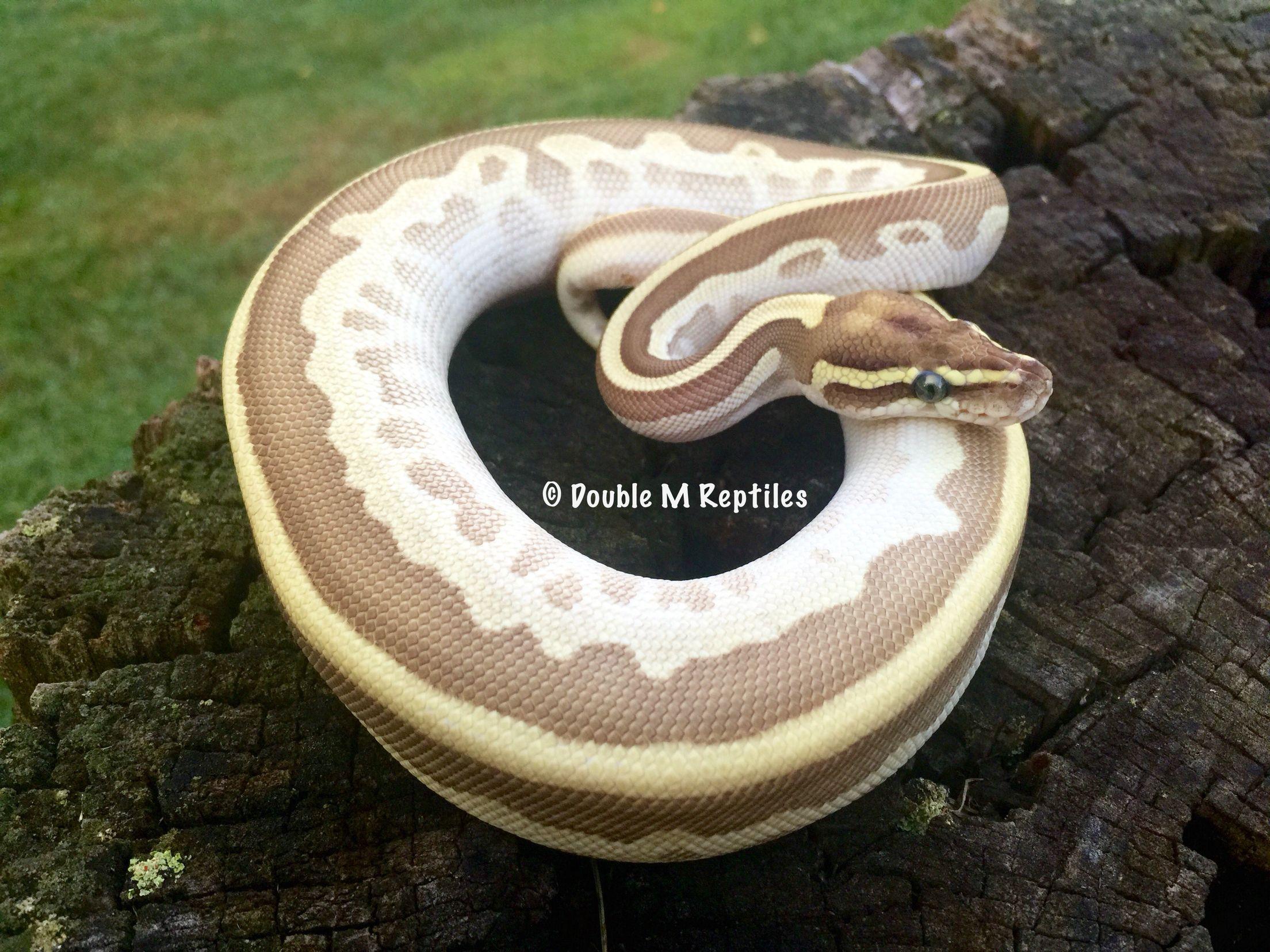 my lesser enchi leopard het pied ball python | <3 | Pinterest ...