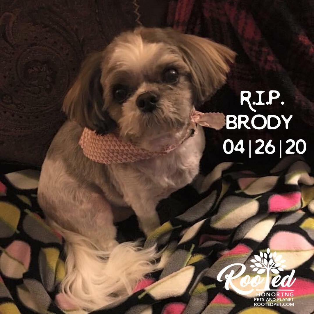 R I P Brody 04 26 20 You Will Always Be Remembered Brody Was My Baby Boy Shih Tzu For 13 Wonderful Years He Came Into My In 2020 Be My Baby Baby Boy Shih Tzu