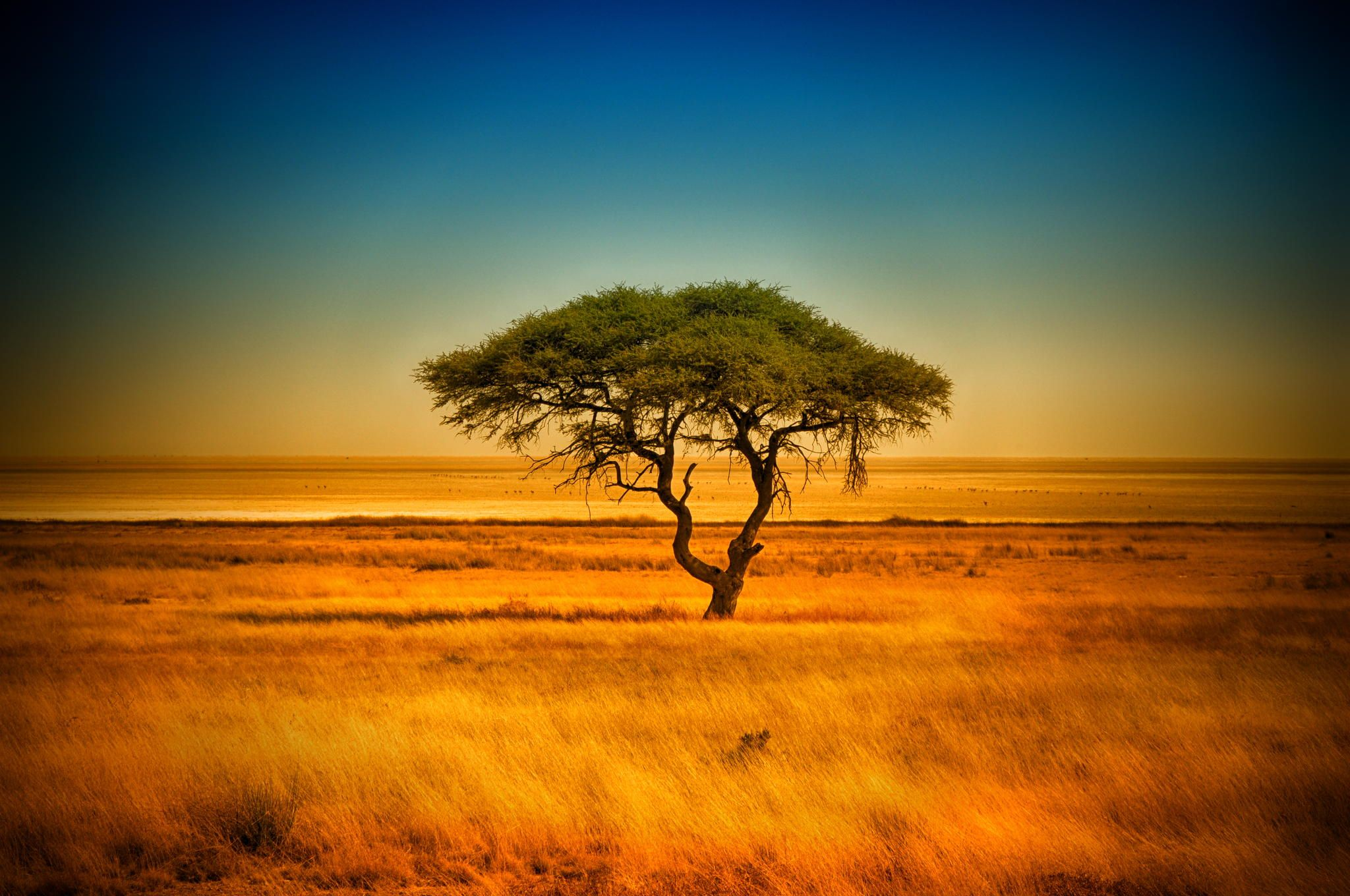Umbrella Thorn Acacia Tree Etosha Park Savannah Namibia By
