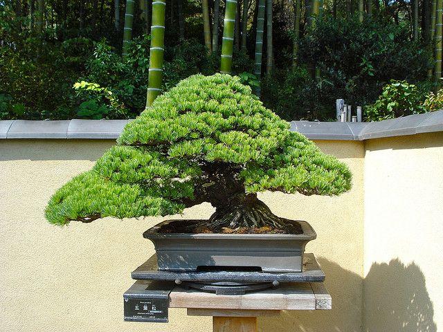 Bonsai In The Japanese Garden Of The Showa Memorial Park Å›½å–¶æ˜å'Œè¨˜å¿µå…¬åœ' Japanese Garden Bonsai Bonsai Tree