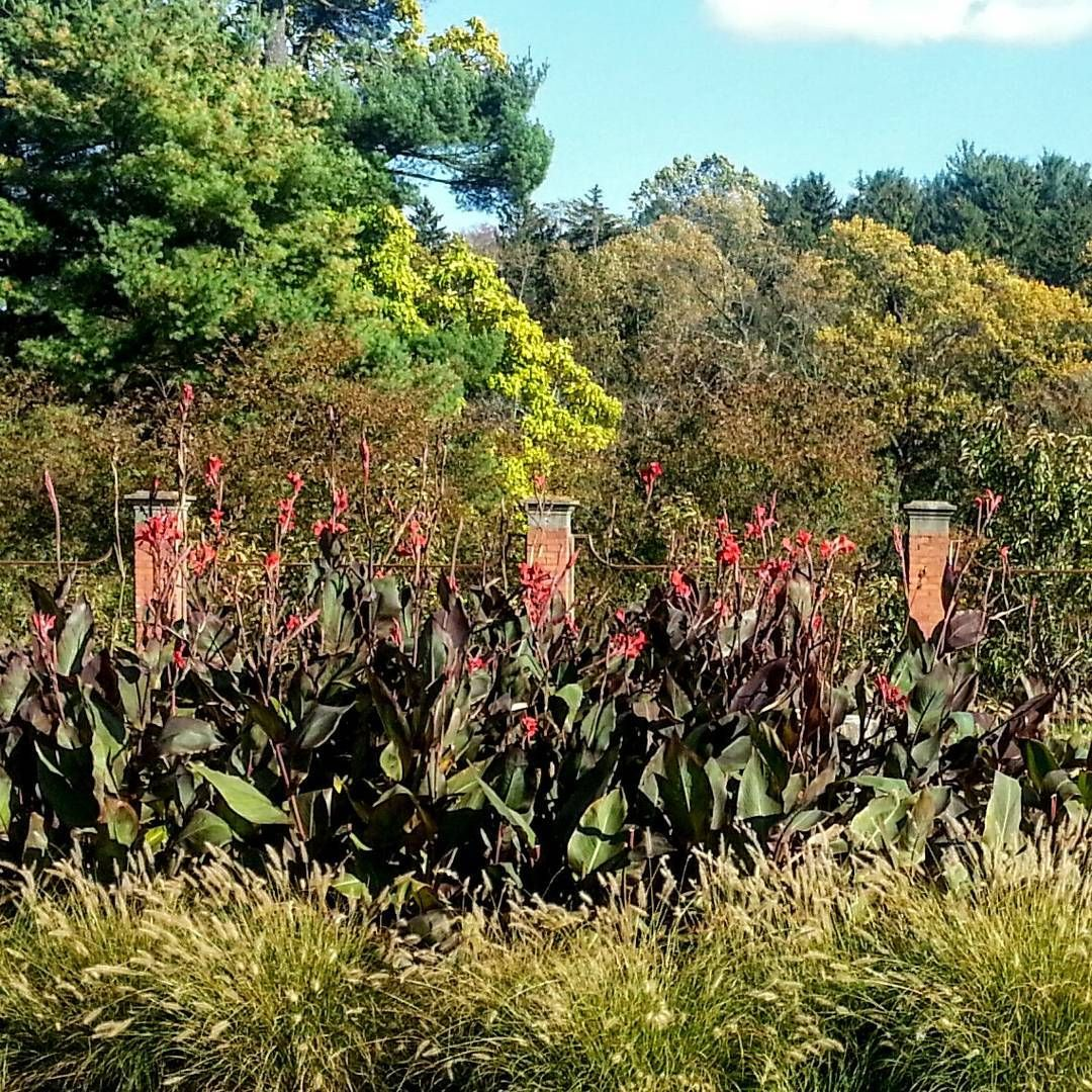 Sneak peek: apart from some roses and this little patch of cannas ...