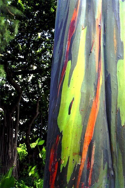 Trees In Polychrome Rainbow Eucalyptus Rainbow Eucalyptus Tree