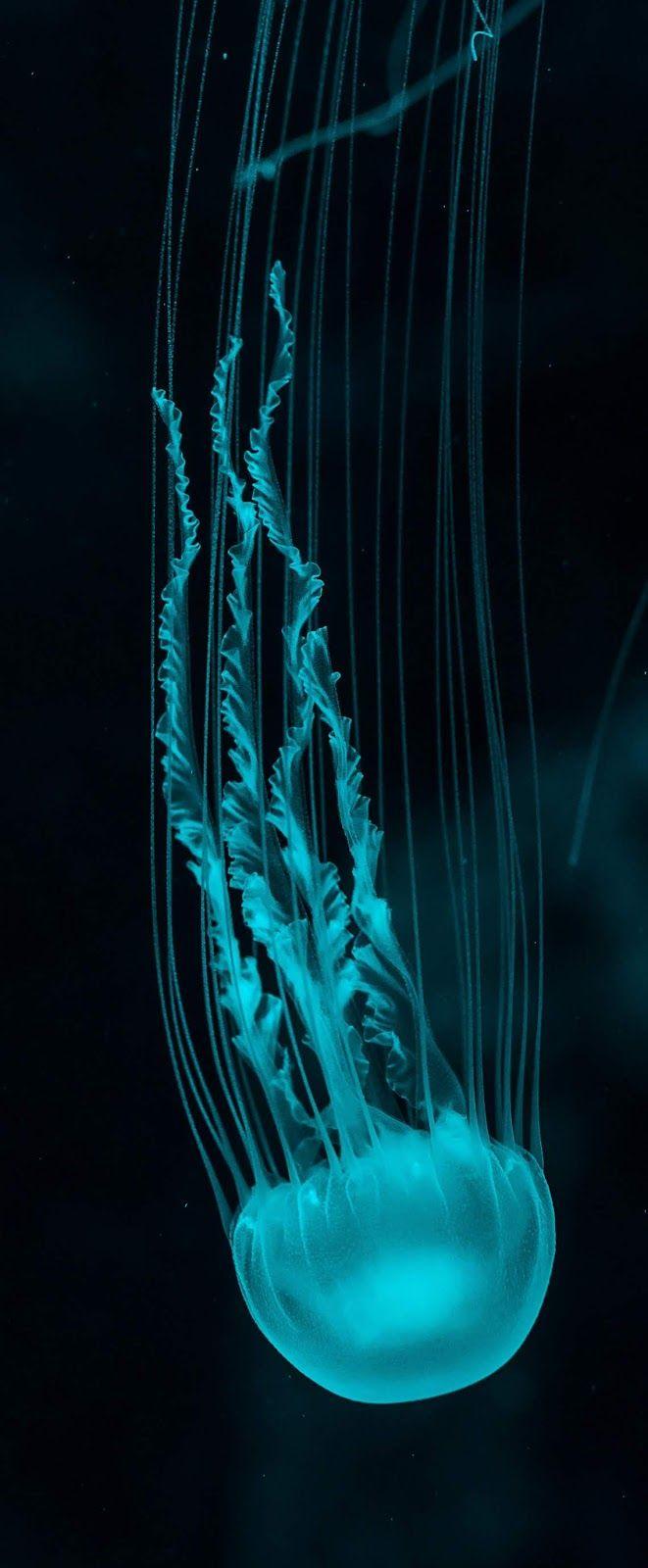 A marvelous jellyfish. #Sea #Ocean #OceanLife #Animals #JellyFish
