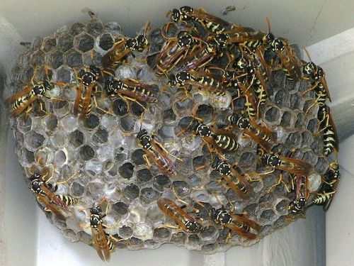 Paper Wasp Nest Vs Hor...