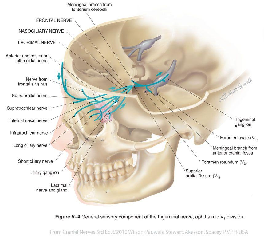 Trigeminal V - Cranial Nerves | aguilon33 | Pinterest