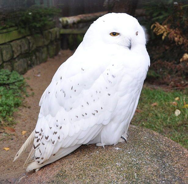 Male Snowy Owl