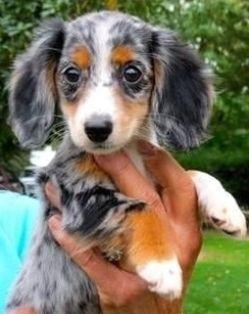 Cute Longhaired Dapple Dachshund
