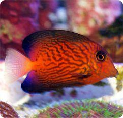Chevron Tang- Juvenile, Black Surgeonfish - Ctenochaetus hawaiiensis