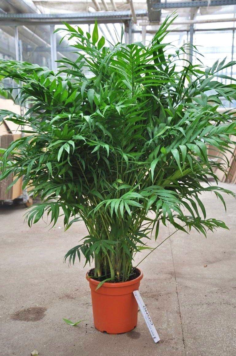 Bergpalme pflanzen pinterest zimmerpflanzen wasser for Welche poolfolie 0 6 oder 0 8