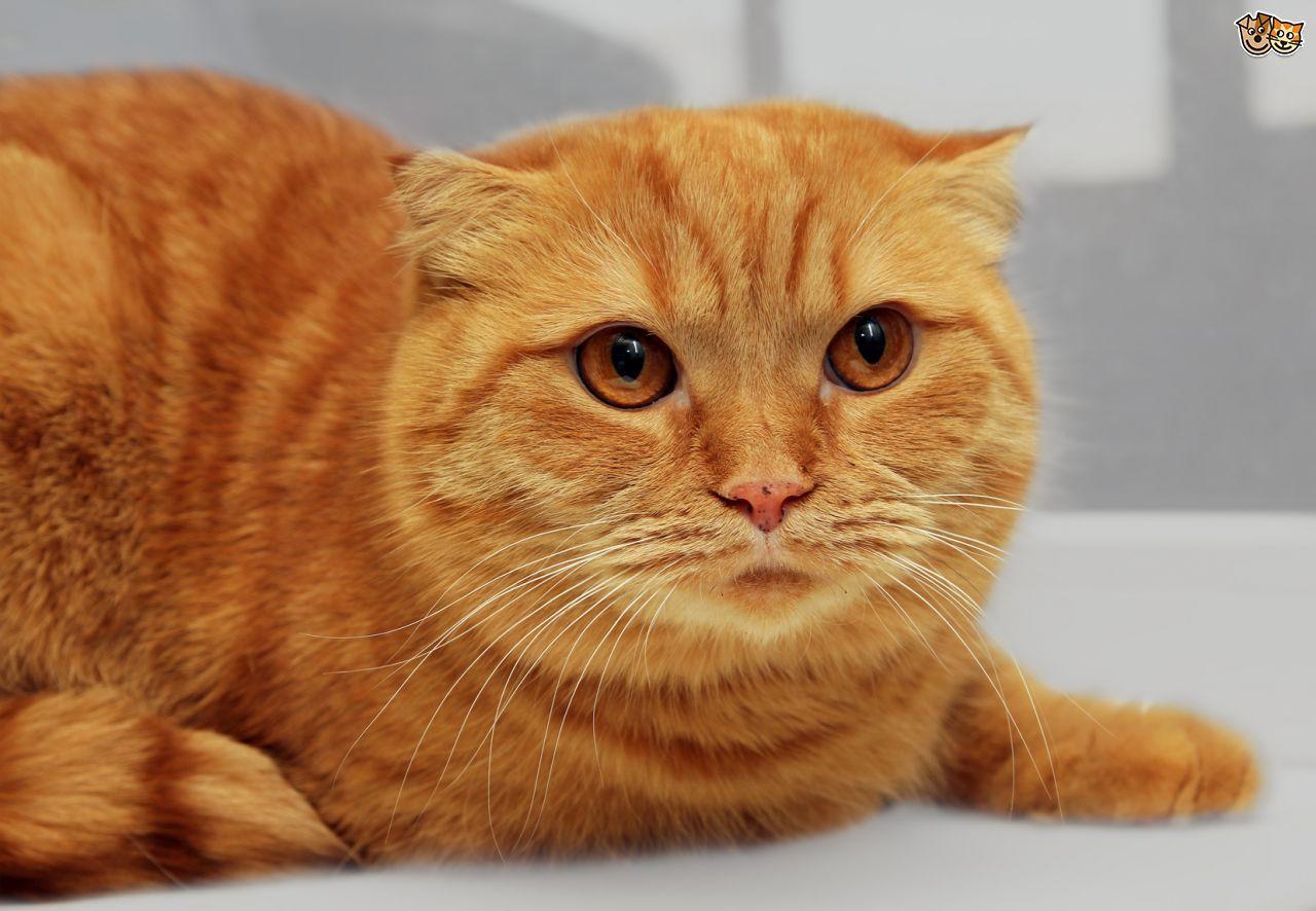 Scottish Fold Cat & Kittens Breed The Scottish Fold Cat is